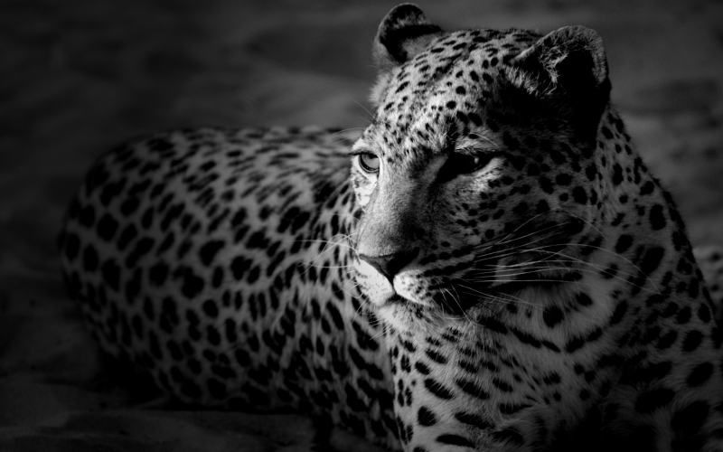 Leopard_black_and_white